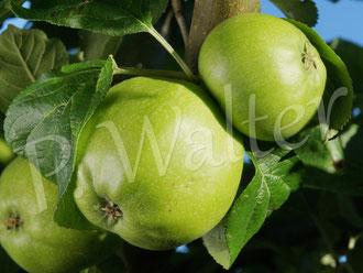 30.06.2015 : Dülmener Herbstrosenapfel, erste Äpfel, Pflanzung November 2011