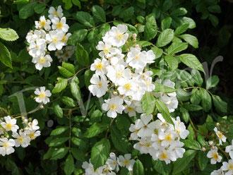 31.05.2020 : die vielblütige Rose, bzw. Büschelrose, macht ihrem Namen alle Ehre