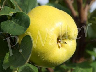 28.09.2014 : eine von drei Apfelquitten (Baum wurde 2013 gepflanzt)