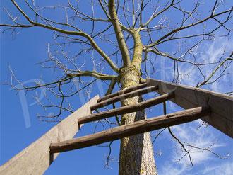 """16.05.2021 : unser Catalpa, eben typisch """"Beamtenbaum"""" ! An der Leiter soll die ungefüllte Ramblerrose hinaufklettern ..."""