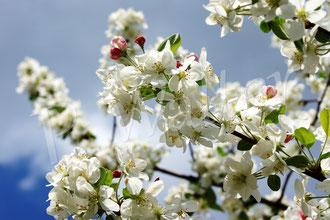23.04.2018 : das Blütenparadies eines der beiden Zieräpfel