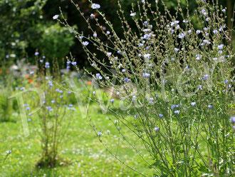 "09.07.2016 : Wegwarten""insel"" im Garten"