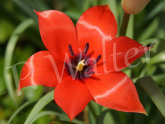 01.05.2016 : rote Wildtulpe