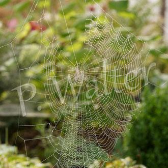 12.09.2015 : Netz einer Sektorenspinne