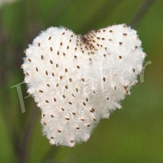 24.09.2017 : Samen der Herbstanemone in Herzform