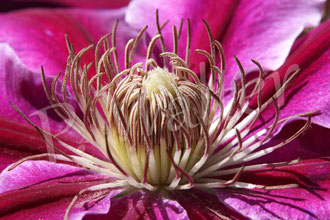 19.05.2014 : Clematis Dr. Ruppel