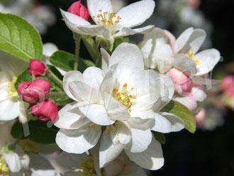 23.04.2018 : Blüten eines der beiden Zieräpfel