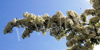 28.05.2020 : Blüten des orangen Feuerdorns, wild umflogen von vielen unterschiedlichen Wildbienen, vor allem aber Sandbienen