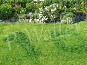 """24.07.2012 : der Hase, der sich an dem höheren Gras der eingedüngten """"10"""" bedient"""