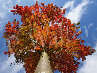 30.10.2016 : Eberesche Joseph Rock im Herbstkleid