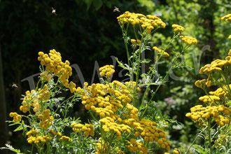 27.07.2019 : blühender Rainfarn ist ein Eldorado für Seidenbienen, Löcherbienen und vielen anderen, die Korbblütler lieben