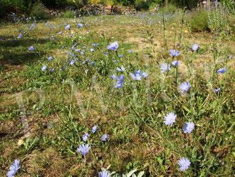 21.07.2019 : die Wegwarten sind überall, nach zwei Wochen Urlaub ist unser Rasen / unsere Wiese vormittags blau und die Wildbienen freuen sich ...