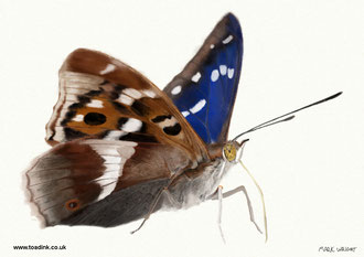 Purple Emperor (2016) Pencil and digital painting. Main reference was a photo by Rob Zweers. All rights reserved.