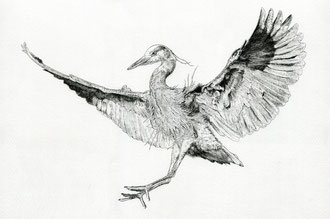 Heron landing (2018) Ink pen. Main reference was a photo by Nigel, thanks Nigel. All rights reserved.