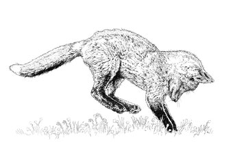 Fox Cub. (2017) Ink. Main reference was a photo by Nigel, thanks Nigel. All rights reserved.