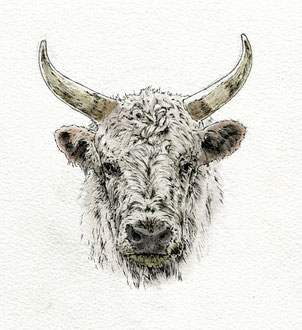 Chillinham Cow. (2018). Pen and Ink pencil. All rights reserved.