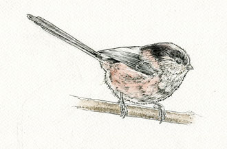 Long-tailed tit (2017). Pen and Ink pencil. All rights reserved.