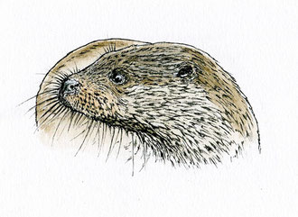 Otter. (2017) Ink and ink wash. This is a small piece at about 5x5 inches. All rights reserved.