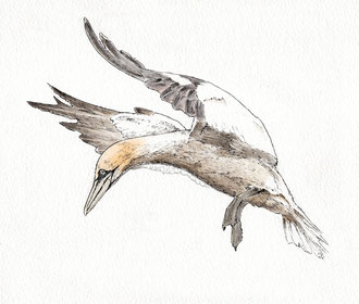 Gannet (2018). Pen and Ink pencil. All rights reserved.