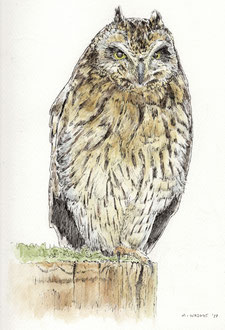 Short-Eared Owl (2017). Pen and Ink pencil. All rights reserved.