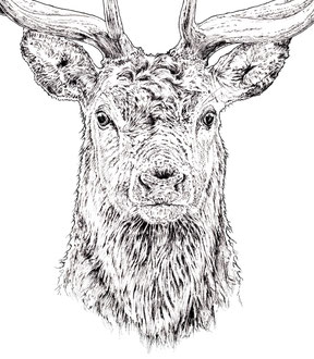 Stag, detail (2017) Ink pen. All rights reserved.