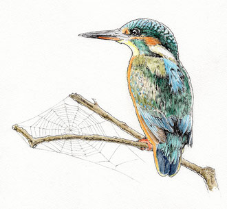 Kingfisher (2018). Pen and Ink pencil. All rights reserved.