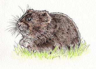 Water Vole. (2018) Ink and ink wash. All rights reserved.