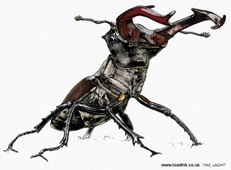 Stag Beetle (2015)  Main reference used with kind permission from wildlife photographer Jeroen Stel. All rights reserved.