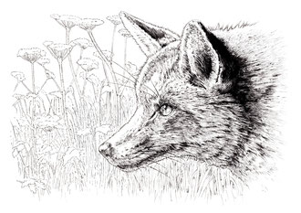 Fox (2017) Ink pen. Main reference was a photo by Tim Felce. All rights reserved.
