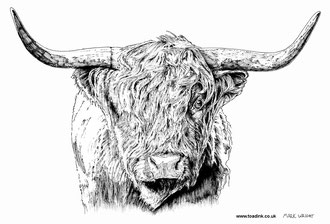 Highland Cow (2017) Ink pen. Main reference was a photo by Stomas. All rights reserved.