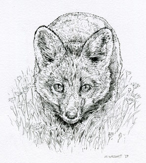 Fox cub in grass. (2017) Ink. Main reference was a photo by Nigel, thanks Nigel. All rights reserved.