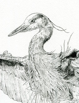 Heron landing (detail) Ink pen. All rights reserved.