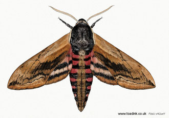 Privet Moth (2015). All rights reserved.