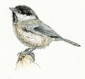 Marsh Tit (2017). Pen and Ink pencil. All rights reserved.