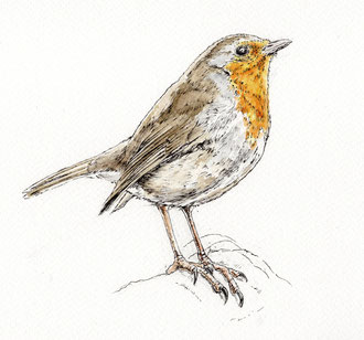 Robin (2017). Pen and Ink pencil.  Main reference was a photo by Pipilongstockings. All rights reserved.
