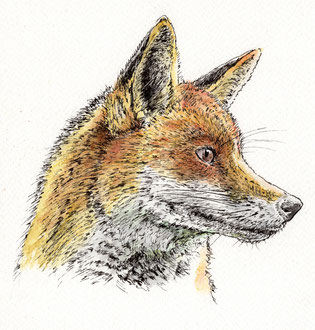 Curious Fox (2017). Pen and Ink pencil. All rights reserved.
