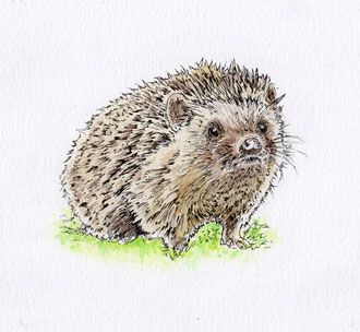 Hedgehog hoglet. (2017) Ink and ink wash. This is a small piece at about 5x5 inches. All rights reserved.