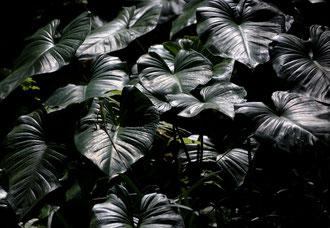 Bali - 'Lizard'