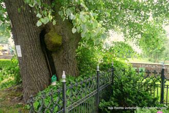 Linde auf dem Friedhof BUCHAR (bei Altentreptow)  -  cemetery in Buchar - linden-tree