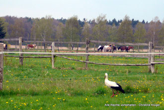 Weißstorch  - Mai 2015  -  white stork