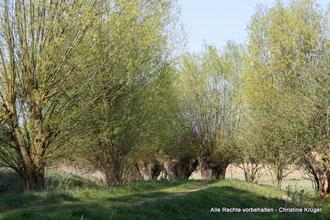 Kopfweiden bei Alt Plestlin im Frühling  -  willows near Alt Plestlin in spring