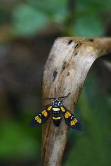 Insecte Balinais