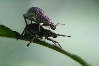 Insectes Balinais