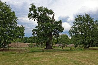 Eiche in Jühnsdorf