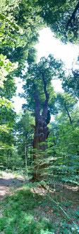 Eiche Hof Louisenlund im Louisenlunder Wald