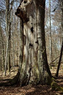 Bannwaldeiche im Eisenbachhain