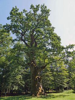 Hammundeseiche bei Friedewald
