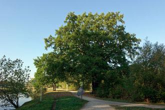Eiche in Warendorf