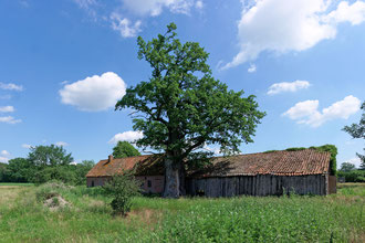 Eiche beim Hof Groß-Ottenhaus bei Altencelle