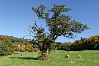 Eiche auf der Wiese bei St. Gangolf bei Mettlach